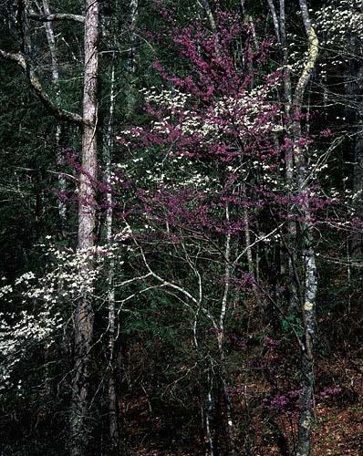 L4 - Eastern Redbud & Dogwood-Great Smoky Mountains