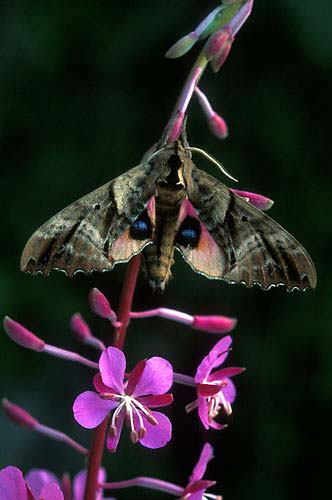 N1 - Blinded Sphinx Moth