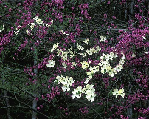 N2 - Flowering Dogwood & Eastern Redbud