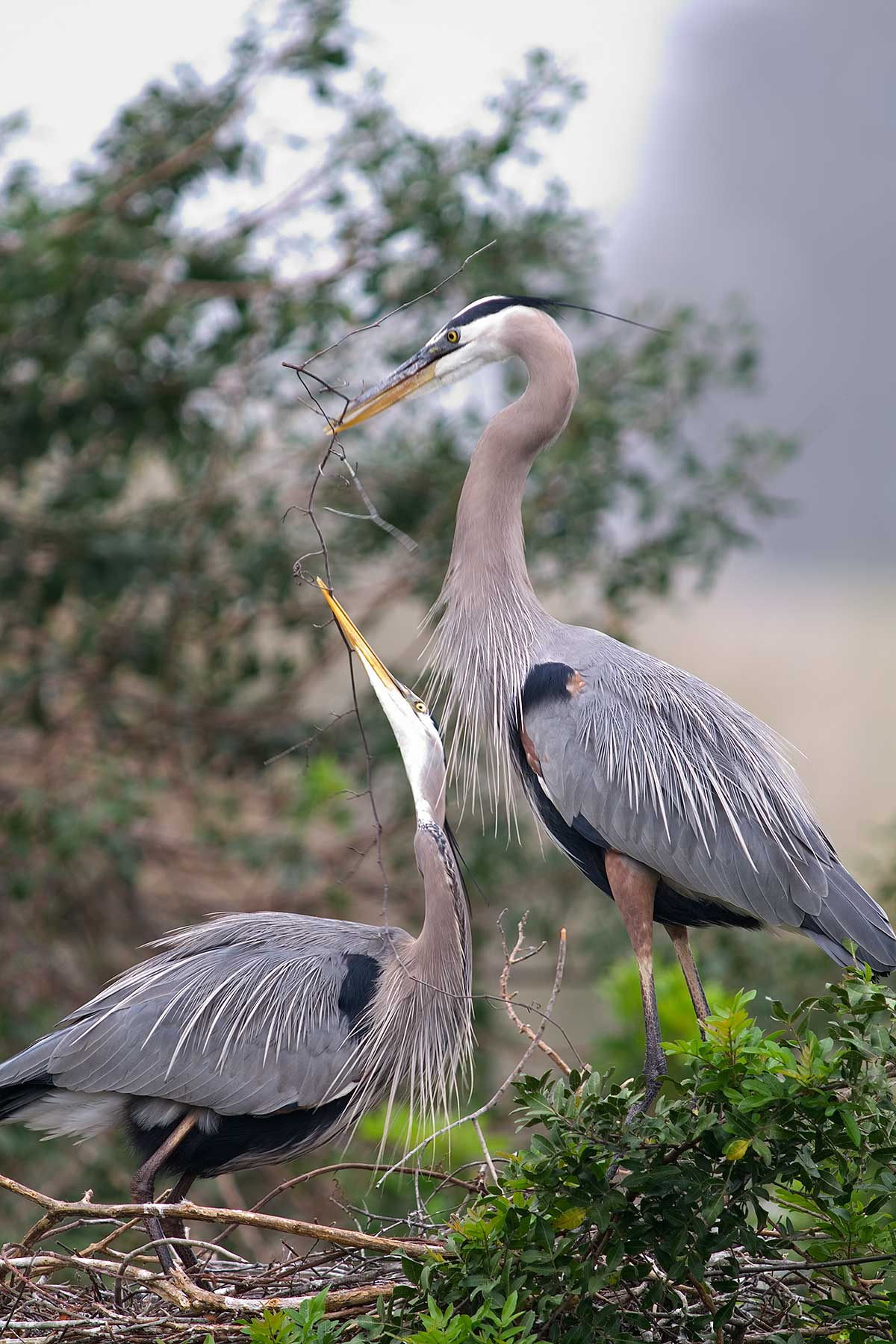 2887 Great Blue Heron Building Venice Rookery FL
