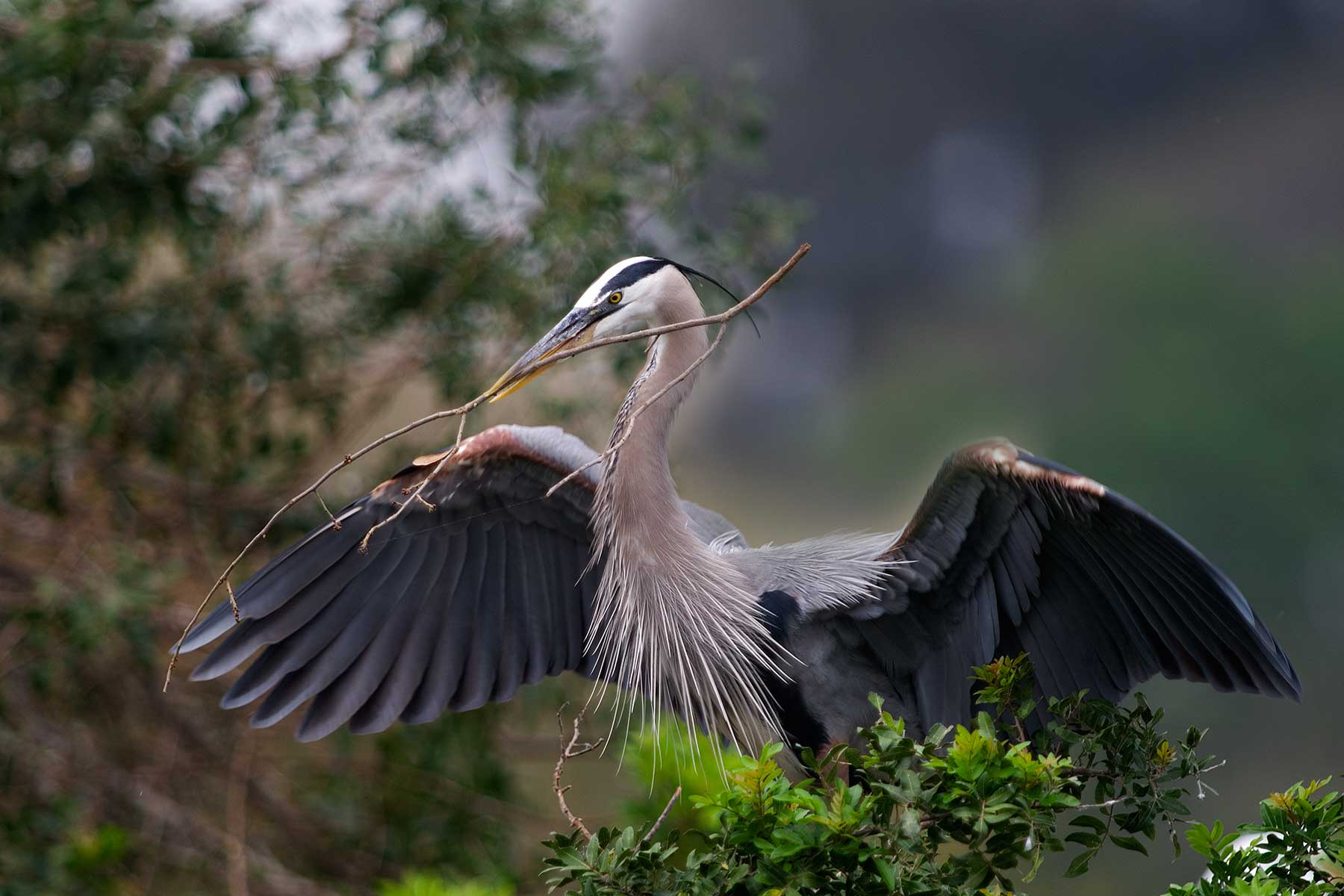 2918 Great Blue Heron Venice Rookery FL