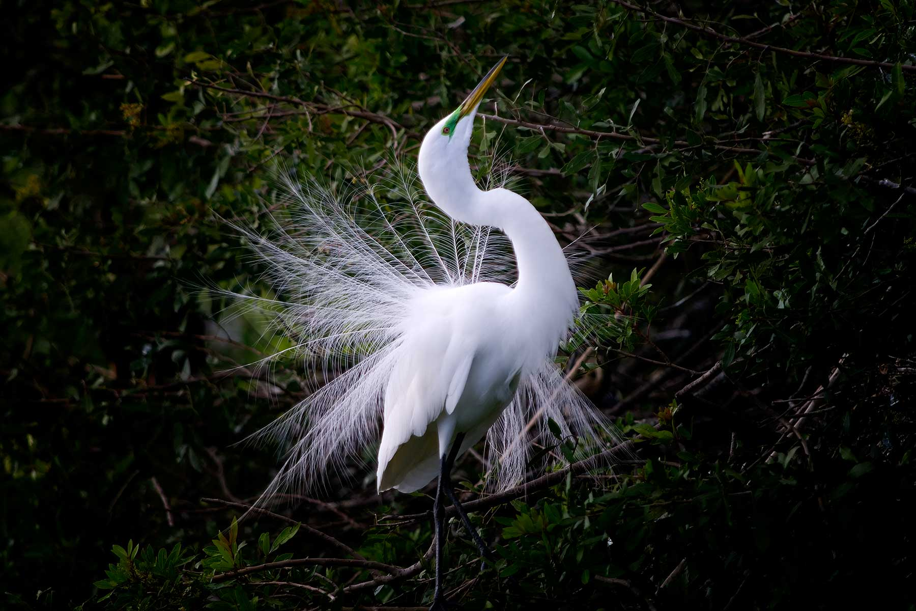 3885 Great Egret Courtship Display Venice Rookery FL