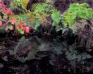 MF03-10  Fern Reflections - Acadia National Park