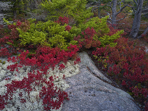 Low Bush Blueberries and Reindeer Moss Acadia NP Maine