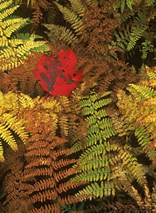 NHF03-2 Maple Leaf and Ferns - White Mountains