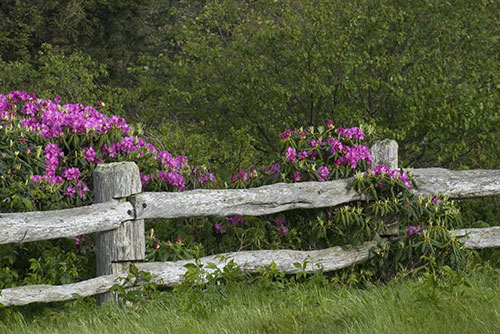 Fence & Rhododendron