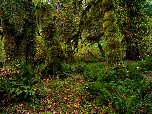 Hoh_Rain_Forest_Olympic_NP_WA