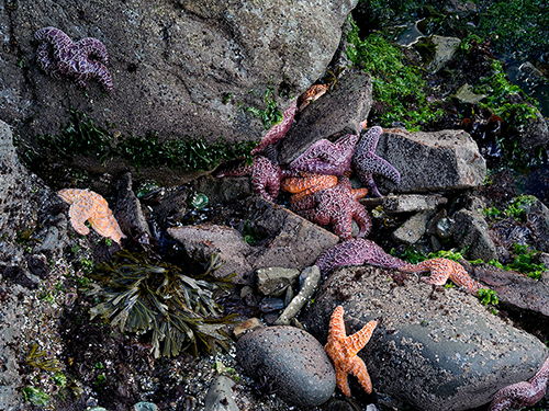 Purple_&_Icgre_Sea_Stars_Second_Beach_Olympic_NP_WA