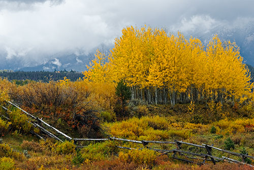 GRT1 Quaking Aspens Grand Teton National Park