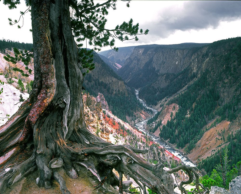 YST10 Tree Roots & Canyon Grand Canyon of the Yellowstone WY